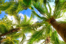 Palm Tree On Blue Sky And White Clouds Mural Wallpaper