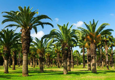 Palm Tree Grove Mural Wallpaper