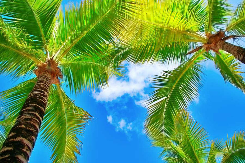 Looking Up Palm Trees Wall Mural
