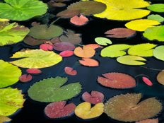 Pattern Of Water Lily Leaves Wall Mural