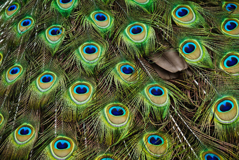 Peacock Feathers Mural Wallpaper