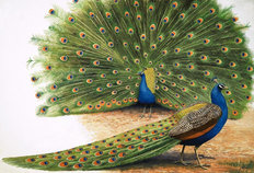 Peacocks Mural Wallpaper