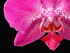 Phalaenopsis Orchid 2 Wall Mural