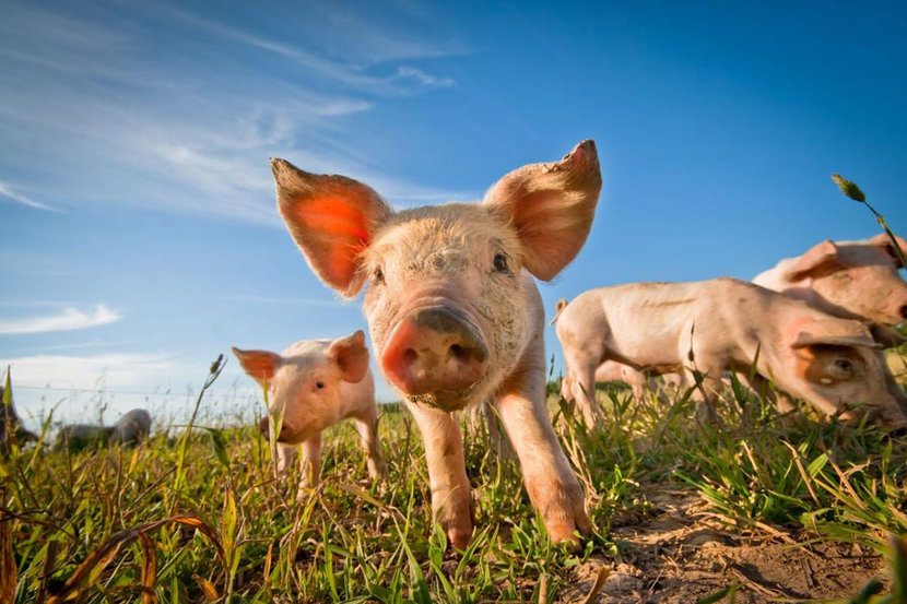 group of piglets on a farm