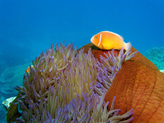 Pink Anemonefish Mural Wallpaper