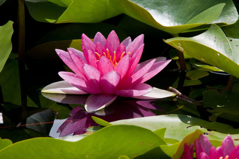 Large Open Water Lily