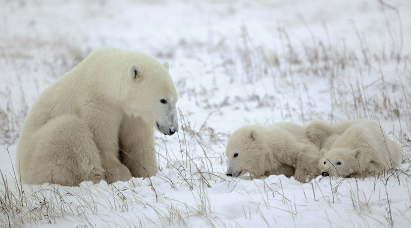 Mother polar bear watches as her two cubs play together