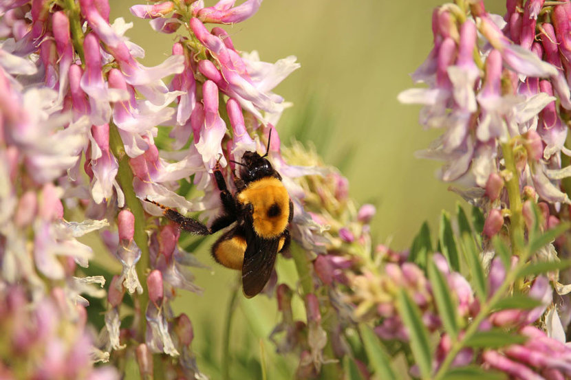 Bumblebee collects pollen from pink flowers