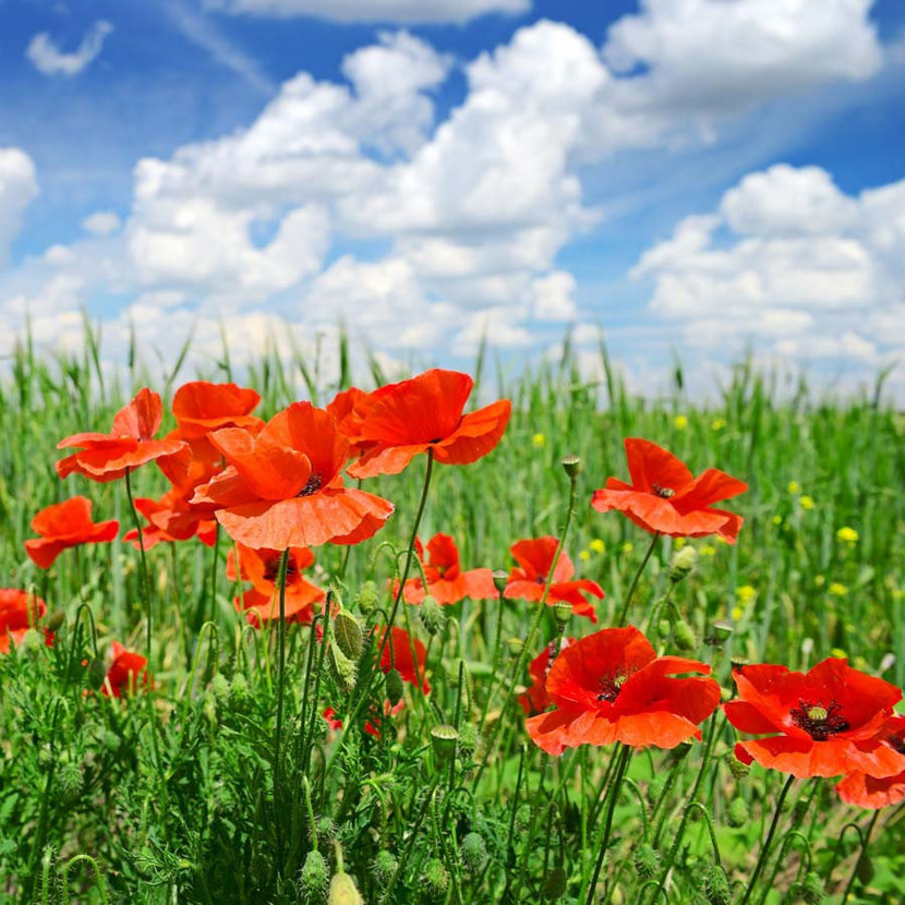 Colorful Poppies with cloudy sky
