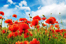 Field Of Poppies Wall Mural