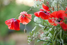 Poppy Bouquet Wall Mural