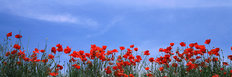 Poppy Field In Bloom, Tuscany, Italy Mural Wallpaper
