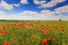 Poppy Flowers Against the Blue Sky Mural Wallpaper