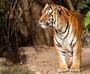 Portrait Of A Royal Bengal Tiger Wall Mural