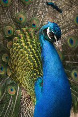 Portrait of a Peacock Mural Wallpaper