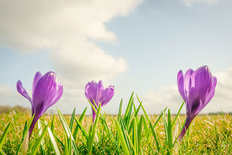 Purple Crocus Flowers On A Row Wall Mural