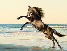 Rearing Morgan Horse Stallion Wallpaper Mural