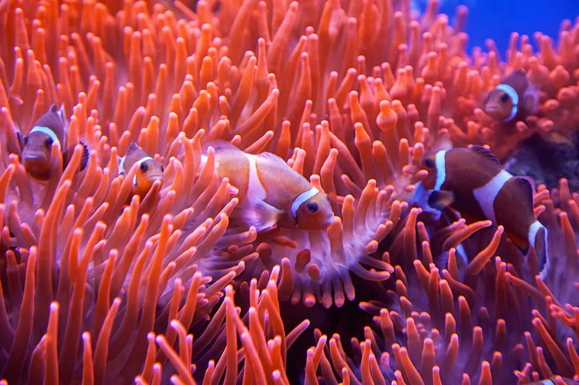 Red And White Clownfish Mural Wallpaper