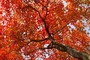 Red Maple Tree Wallpaper Mural