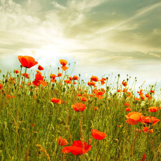 Red Poppies In A Green Field Wall Mural