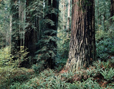 Redwood Forest Mural Wallpaper