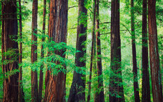 Redwood Trees In The Northwest Rainforest Wallpaper Mural