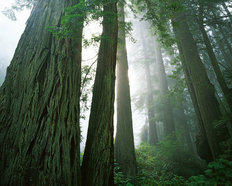Redwoods in Fog Wallpaper Mural