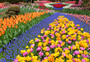 Riot of Tulips Wall Mural