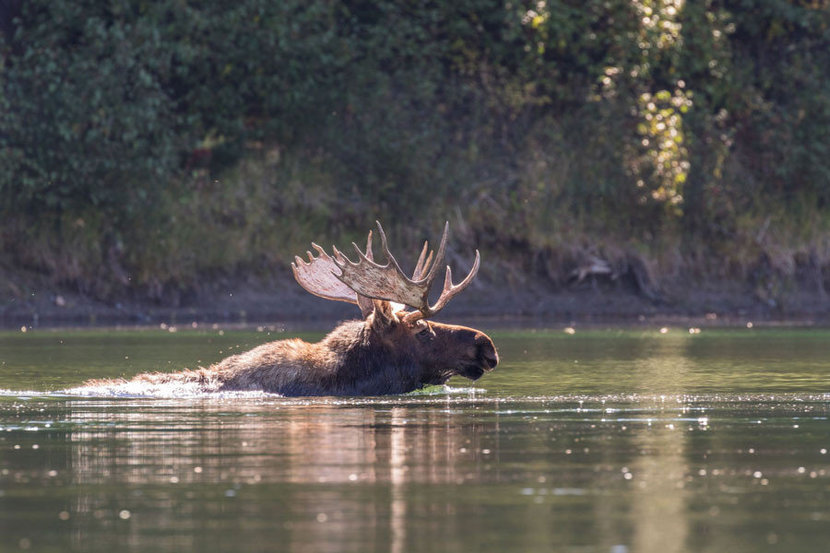 Moose swims across a wide river