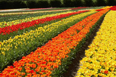 Rows Of Tulips Mural Wallpaper