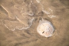 Sand Dollar In Water Wall Mural