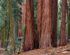 Sequoias, Giant Forest, Sequoia National Park, California Mural Wallpaper