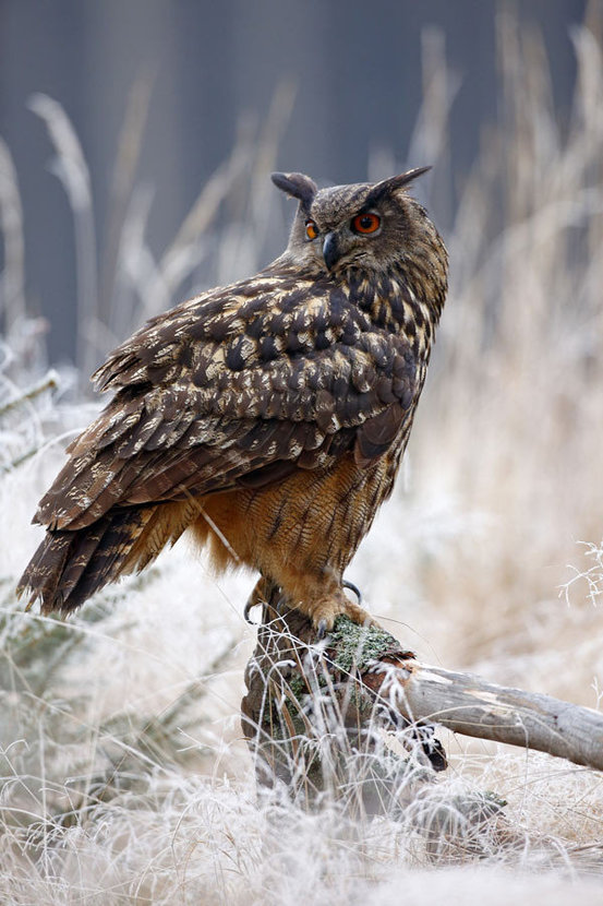 large owl sits atop a stump and looks off into the distance