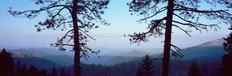 Silhouetted Pines, Sequoia National Park, CA Mural Wallpaper