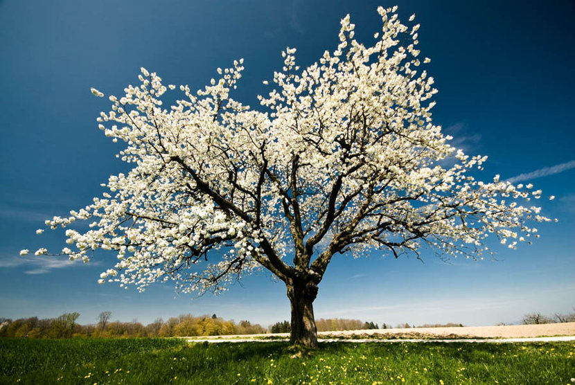 A Single Blossoming Tree in Spring Wall Mural