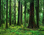 Sitka Spruce, Hoh Rain Forest Wall Mural