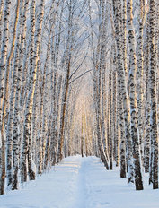 Snow-Covered Birch Alley Mural Wallpaper