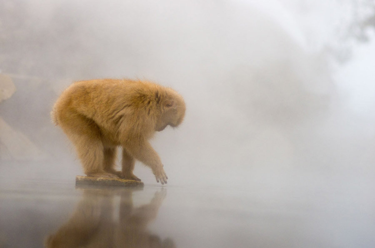 snow monkey tests the waters of a steamy hot spring
