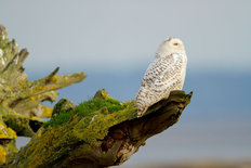 Snowy Owl Looking Out Mural Wallpaper