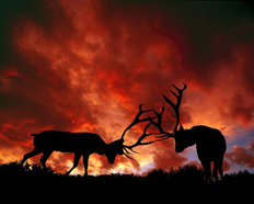 Sparing Elk, Yellowstone National Park  Mural Wallpaper