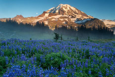 Spray Park Lupines, Mt Rainier Wallpaper Mural