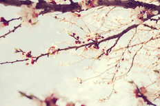 Spring Blossoms Wallpaper Mural