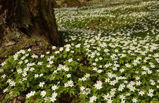 Anemone Forest Floor Mural Wallpaper