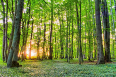 Spring Forest Morning Mural Wallpaper