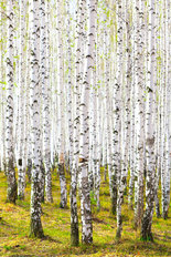 Spring in A Birch Forest Wall Mural
