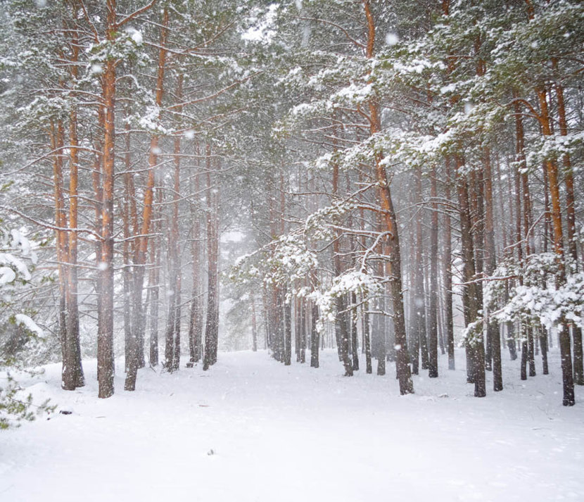 Strong Snowstorm In A Pine Forest  Mural Wallpaper