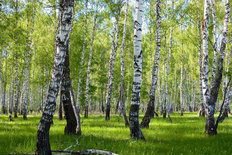 Birch Forest In Summer Wallpaper Mural