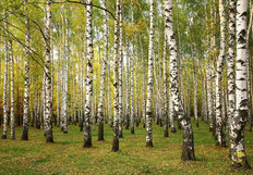 Birch Trees In Autumn Mural Wallpaper