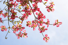 Sunny Pink Dogwood Wallpaper Mural