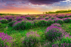 Sunset Over Lavender Field Wallpaper Mural